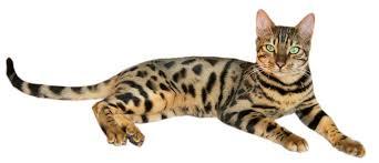14c8d721e43a5a6df4cd285c0bb50d89–see you bengal cats – Bengal Cat