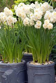 daffodil bridal crown gardening daffodils