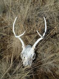 Deer Antler Shed Trap by May 2010 Scott Linden Outdoors