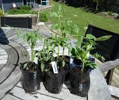 Soaking Pumpkin Seeds Before Planting by Saving Pumpkin Seeds Growing And Gathering