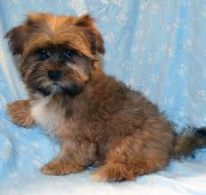 Morkies Do They Shed by Puppies Currently Available