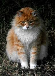 haired cat white haired cat breeds williams