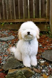 Do Irish Wheaten Terriers Shed by Whoodle Wheaten Terrier Poodle Mix Info Temperament Puppies