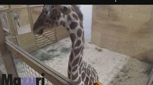 11alive.com | All Of Your 'April The Giraffe' Questions Answered Animal Sex Nbc4icom Rihannas 11 Best Videos From Umbrella To Bbhmm Billboard The Xobssed World Of Brunei New York Post Britney Spears 10 Music Medical Examiner Accused Trading Prescription Drugs For Sex With Animals Tomonews Animated News Weird And Funny Beautiful Same Wedding Video Montage Youtube South Carolina Man Rodell Vereen Gets 3 Years Horse Brooklyn Arrested Allegedly Having Nassau Teen Dairy Workers After Undcover Video Shows Them Hitting