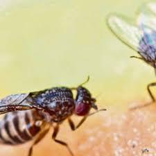 nervige fruchtfliegen so wird sie los sechs tipps