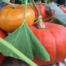 Cinderella Pumpkin Seeds Australia by Cinderella Pumpkins Information Recipes And Facts