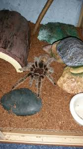 Do Tarantulas Shed Their Fangs by Best 25 Rose Tarantula Ideas On Pinterest Spider Spiders And