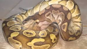 Ball Python Shedding Eating by Lessor Ball Python Eating Baby Chicken Youtube