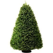 7 8 Ft Grand Fir Real Christmas Tree