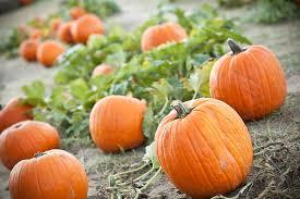 South Reno Pumpkin Patch by 50 Ways To Celebrate Fall In Oklahoma Travelok Com Oklahoma U0027s