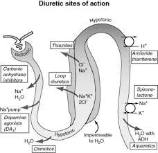 High Ceiling Loop Diuretics Adverse Effects by Fluid And Diuretic Therapy In Heart Failure Veterian Key