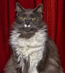 Do Maine Coons Shed In The Summer by Our Maine Coon Ragdoll Cross Breed Cats Greebo And Dippy