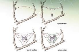 comment l araignée tisse sa toile coopération le magazine