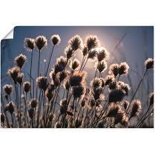 artland wandbild wollgras ii gräser 1 st in vielen grössen produktarten alubild outdoorbild für den aussenbereich leinwandbild poster