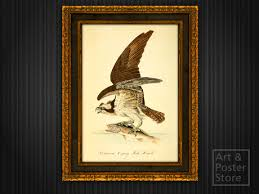 FISH HAWK Vintage Audubon Birds Of America Print