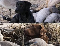 dog breed comparison chessies vs labs gun dog magazine