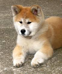 Do Akitas Shed Hair by Japanese Akita Inu Info Temperament Puppies Pictures