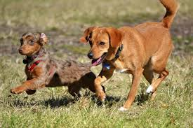 Big Dogs That Dont Shed Badly by Personality Traits Of A Dachshund Chihuahua Mix Chiweenie