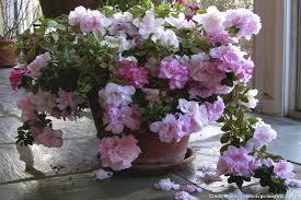 azalée 3 é simples pour les faire refleurir détente jardin