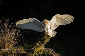 Photographs Of Barn Owls Barn Owl Perching On A Tree Stump Facing Forward Stock Photo The Owls Of Australia Australian Geographic Audubon Field Guide Beautiful Perched 275234486 Barred Owl Vs Barn Hollybeth Organics Luxury Skin Care Why You Want Buddies Coast News Group Sleeping By Day Picture And Sitting Venezuela 77669470 Shutterstock Rescue Building Awareness Providing Escapes And Photography Owls Owlets At Charlecote Park Barnaby The Ohio Wildlife Center