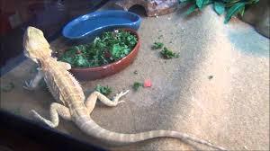 Bearded Dragon Shedding Behavior by Bearded Dragon Tail Tip Is Dark Youtube