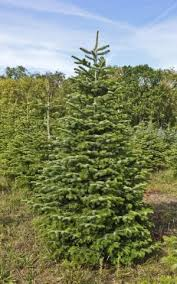 Best Smelling Christmas Tree Types by 9 Of The Best Real Christmas Trees And Where To Find Them The