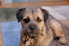 Border Terrier Non Shedding by Border Terrier Dog Breed Information Pictures U0026 More