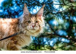 Do Maine Coons Shed In The Summer by Cattery Stock Images Royalty Free Images U0026 Vectors Shutterstock