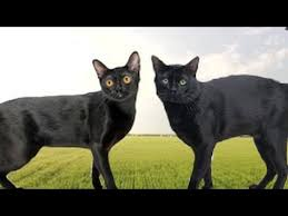 bombay cats american bombay vs bombay cat what s the difference