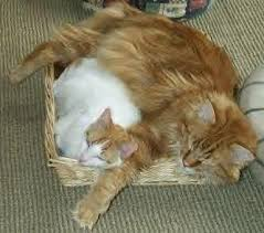 forest cat vs maine coon maine coon x bsh search kitties maine