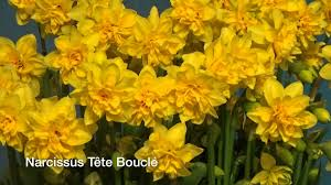 narcissus t礫te boucl礬 narcissus bulbs from