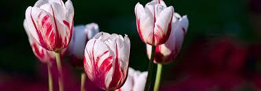 organic flower bulbs