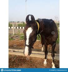 100 Farm House Tack Horse Moring Closeup View Near Stock Photo