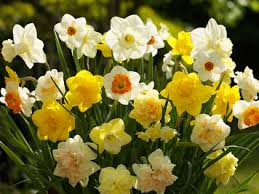 buy locally grown organic tulips other bulbs for fall planting