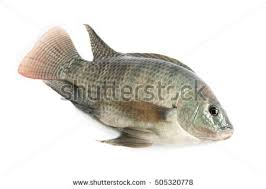 Fresh Fish On A White Background Nile Tilapia Mango Nilotica
