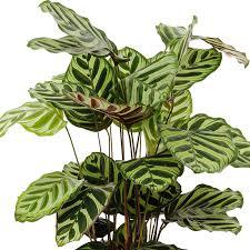 luftreinigende zimmerpflanzen kaufen 123zimmerpflanzen