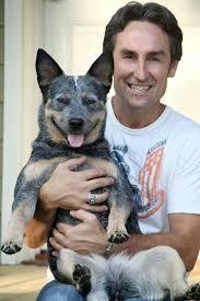 98 best blue heeler images on pinterest australian cattle dog
