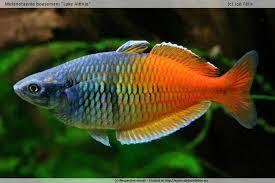 poisson eau douce aquarium tropical poissons aquarium eau douce odyssee aquarium odyssee végétale