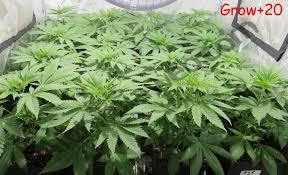 culture de graines de cannabis régulières en intérieur du