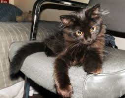 cat on file black cat on a chair jpg wikimedia commons