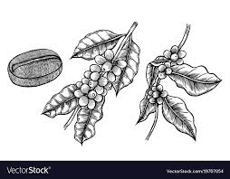 Coffee Branch Plant Vector Image