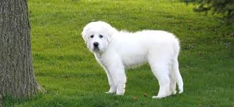 great pyrenees dog breed standards