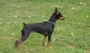 miniature pinscher dog breed standards