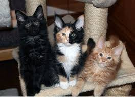 Do Maine Coons Shed In The Summer by Why Are Calico Cats Always Female Pethelpful