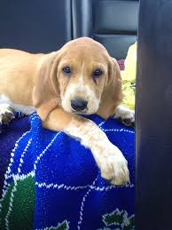 Do Redbone Coonhounds Shed by Red Tick Hound Puppy Hounds Pinterest Hound Puppies Dog And