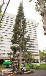 A 96 Foot White Fir Christmas Tree From Mount Shasta Is Installed At South Coast Plazas Town Center Park In Costa Mesa On Tuesday October 11 2016