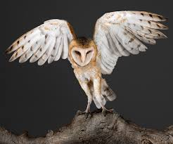 Garbo.Barn-Owl.2 White Screech Owl Illustration Lachina Bbc Two Autumnwatch Sleepy Barn Owl Yoga Bird Feeder Feast And Barn Wikipedia Attractions In Cornwall Sanctuary Wishart Studios Red Eastern By Ryangallagherart On Deviantart Owlingcom Biology Birding Buddies 2000 Best 2 Especially Images Pinterest Screeching Youtube