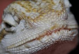 crusty discolored lips detailed pictures bearded dragon org