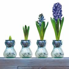 gift boxed kit contains 1 large blue hyacinth bulb 1 transparent