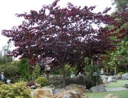 Forest Pansy Eastern Redbud Is A Valued Small Tree For The Home Landscape